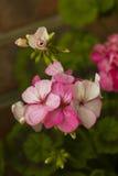 El geranio rosado florece en la rama, color vibrante Imagen de archivo