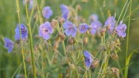 El geranio salvaje campo-azul Campo verde en verano almacen de video