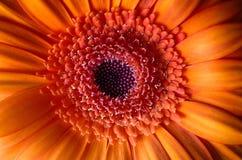 El gerber anaranjado crea un humor alegre brillante Foto de archivo libre de regalías