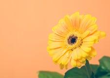 El Gerbera amarillo con verde se va en el fondo anaranjado fotografía de archivo libre de regalías