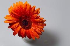 El gerbera anaranjado con agua cae en un fondo blanco Foto de archivo libre de regalías