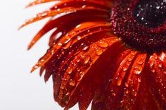 El gerbera anaranjado con agua cae en un fondo blanco Fotografía de archivo libre de regalías