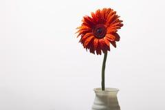 El gerbera anaranjado con agua cae en un fondo blanco Imagen de archivo libre de regalías