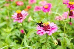 El Gerbera o la margarita, florece color rosado con manosea la abeja Imagen de archivo