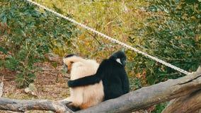 El gibón blanco y negro se está sentando en rama Gibón negro que abraza blanco almacen de metraje de vídeo