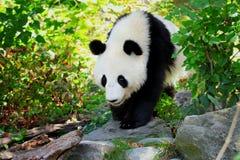 El gigante de la panda está caminando en naturaleza foto de archivo libre de regalías