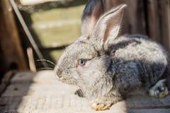 El gigante flamenco es una raza del conejo nacional en el fondo blanco Una serie de imágenes Fotos de archivo libres de regalías
