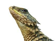 El gigante rodeó el fondo aislado reptil del lagarto Imagen de archivo libre de regalías