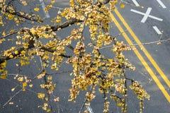 El ginkgo maduro da fruto en las ramas del árbol del ginkgo fotografía de archivo