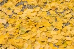 El Ginkgo se va en el piso durante último otoño Imagen de archivo
