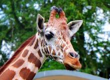 El Giraffa de la jirafa es un género de mamíferos ungulados uniforme-tocados con la punta del pie africano imagen de archivo