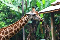 El Giraffa de la jirafa es un género de mamíferos ungulados uniforme-tocados con la punta del pie africano imagenes de archivo