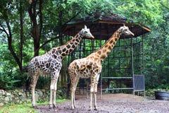 El Giraffa de la jirafa es un género de mamíferos ungulados uniforme-tocados con la punta del pie africano fotos de archivo libres de regalías
