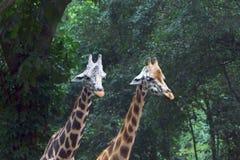 El Giraffa de la jirafa es un género de mamíferos ungulados uniforme-tocados con la punta del pie africano foto de archivo libre de regalías