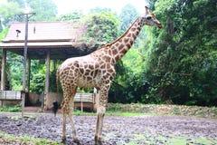 El Giraffa de la jirafa es un género de mamíferos ungulados uniforme-tocados con la punta del pie africano foto de archivo