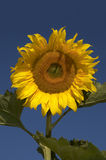 El girasol Foto de archivo libre de regalías