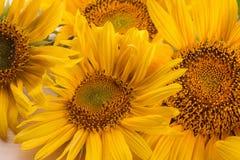 el girasol brillante amarillo florece el primer en una tabla de madera natural fotos de archivo