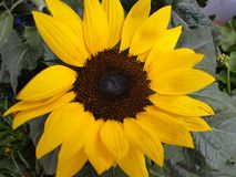 El girasol con los pétalos amarillos floreció fotos de archivo