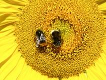 El girasol con manosea abejas Fotografía de archivo libre de regalías