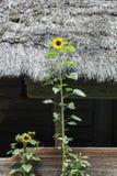 El girasol crece cerca de casa de madera vieja Fotografía de archivo libre de regalías