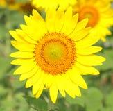 El girasol en la floración es amarillo en país ancho del campo Imágenes de archivo libres de regalías