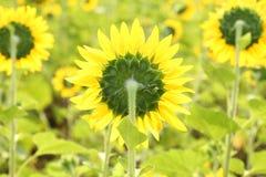 El girasol en la floración es amarillo en país ancho del campo Foto de archivo libre de regalías