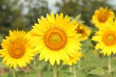 El girasol en la floración es amarillo en país ancho del campo Imagen de archivo