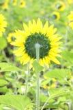 El girasol en la floración es amarillo en país ancho del campo Imagenes de archivo