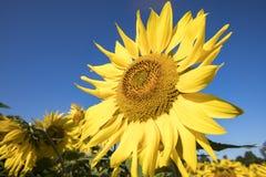 El girasol florece en campo contra los cielos azules en madrugada fotos de archivo libres de regalías