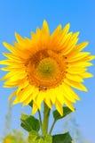 El girasol floreciente en el campo debajo del cielo azul, abeja recoge el polen, fondo orgánico Imagenes de archivo