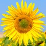 El girasol floreciente en el campo debajo del cielo azul, abeja recoge el polen, fondo orgánico Imagen de archivo