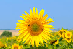El girasol floreciente en el campo debajo del cielo azul, abeja recoge el polen, fondo orgánico Imagen de archivo libre de regalías