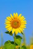 El girasol floreciente en el campo debajo del cielo azul, abeja recoge el polen, fondo orgánico Imágenes de archivo libres de regalías