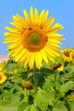 El girasol floreciente en el campo debajo del cielo azul, abeja recoge el polen, fondo orgánico Fotografía de archivo libre de regalías