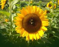 El girasol grande con las abejas se cierra para arriba Imágenes de archivo libres de regalías