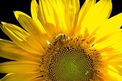 El girasol hizo excursionismo con la polinización de la abeja en un fondo negro Fotos de archivo