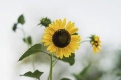 El girasol risueno en día soleado, abejas recoge el néctar Fondo ligero del verano Imagen de archivo
