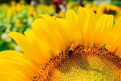 El girasol y la abeja Foto de archivo libre de regalías
