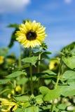 El girasol y la abeja en fondo del cielo azul en girasol colocan Fotos de archivo libres de regalías