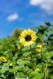 El girasol y la abeja en fondo del cielo azul en girasol colocan Imágenes de archivo libres de regalías