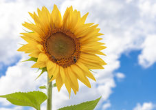 El girasol y la naturaleza de los insectos amarillean el fondo de la flor y del cielo Imagen de archivo libre de regalías