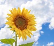 El girasol y la naturaleza de los insectos amarillean el fondo de la flor y del cielo Fotos de archivo