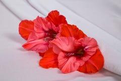 El gladiolo vivo hermoso tres florece en la tela blanca con los dobleces Imagen de archivo libre de regalías