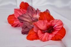 El gladiolo vivo hermoso tres florece en la tela blanca con los dobleces Imágenes de archivo libres de regalías