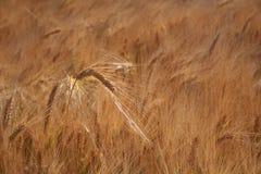 El glinting principal de la cebada en el sol Foto de archivo