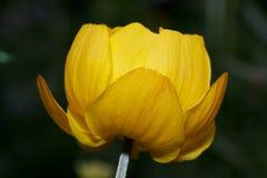 El globeflower hermoso está creciendo en un prado verde Cierre para arriba Europaeus del Trollius fotos de archivo
