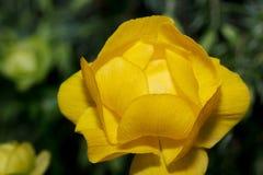 El globeflower hermoso no florecido está creciendo en un prado de la primavera Europaeus del Trollius El despertar de la naturale foto de archivo