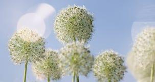 El globo circular del allium blanco formó las flores sopla en el viento Fotografía de archivo