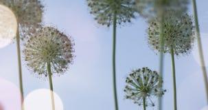 El globo circular del allium blanco formó las flores sopla en el viento Imagen de archivo libre de regalías