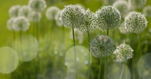 El globo circular del allium blanco formó las flores sopla en el viento Imágenes de archivo libres de regalías